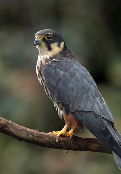 Хищные птицы самарской области